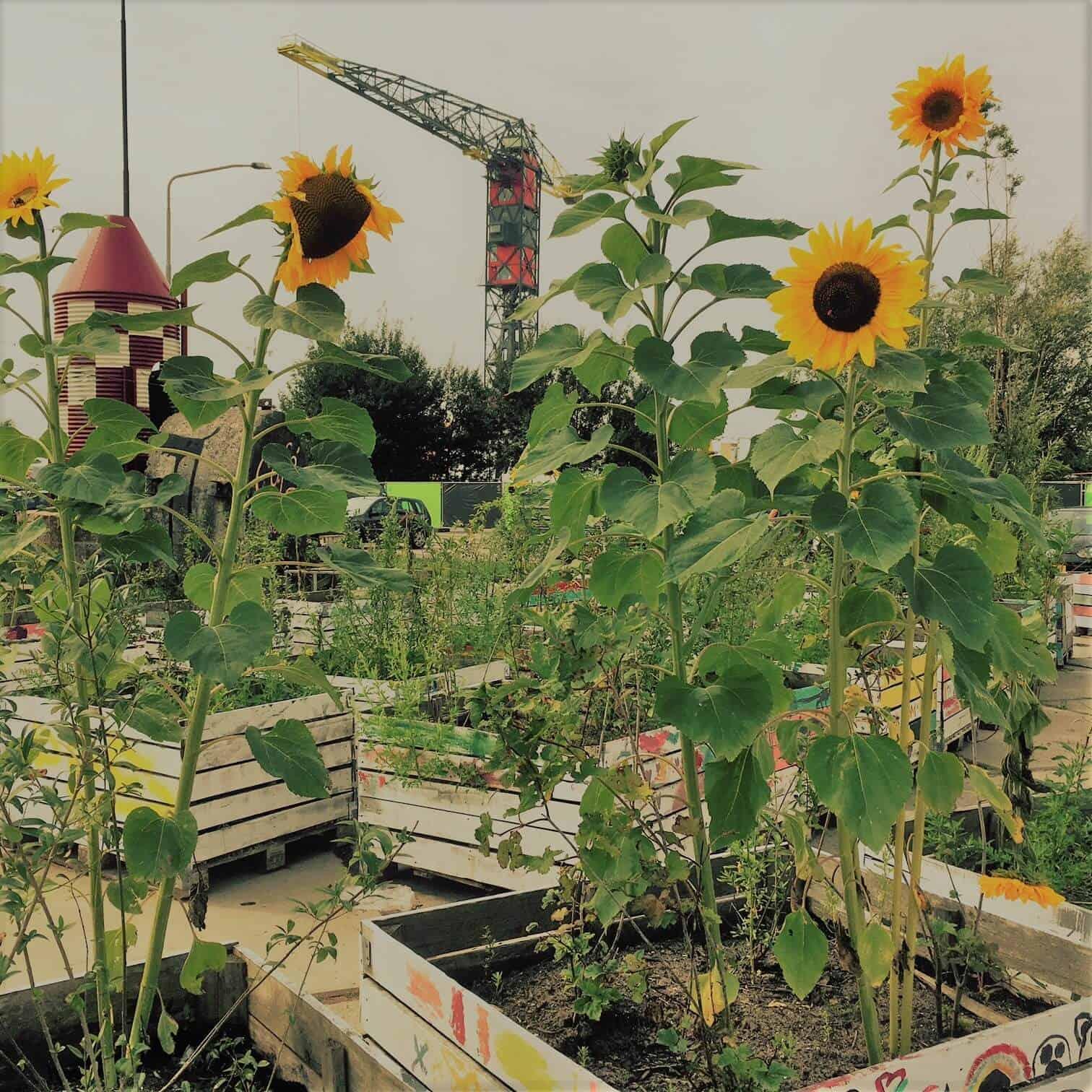 zonnebloemen shinen ndsm gewoonboot